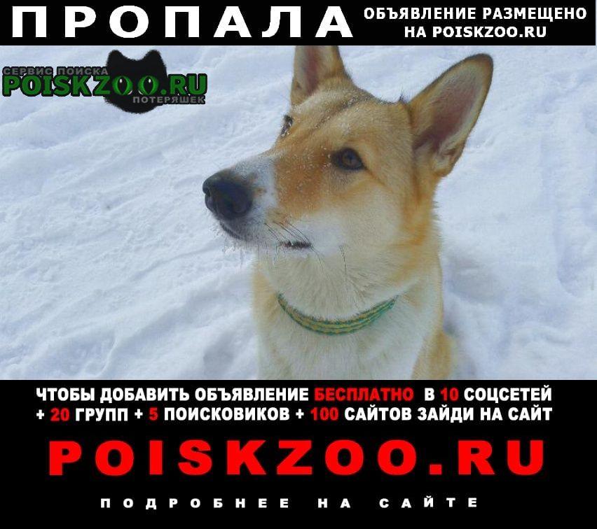 Пропала собака убежала лайка западно -сибирская Истра