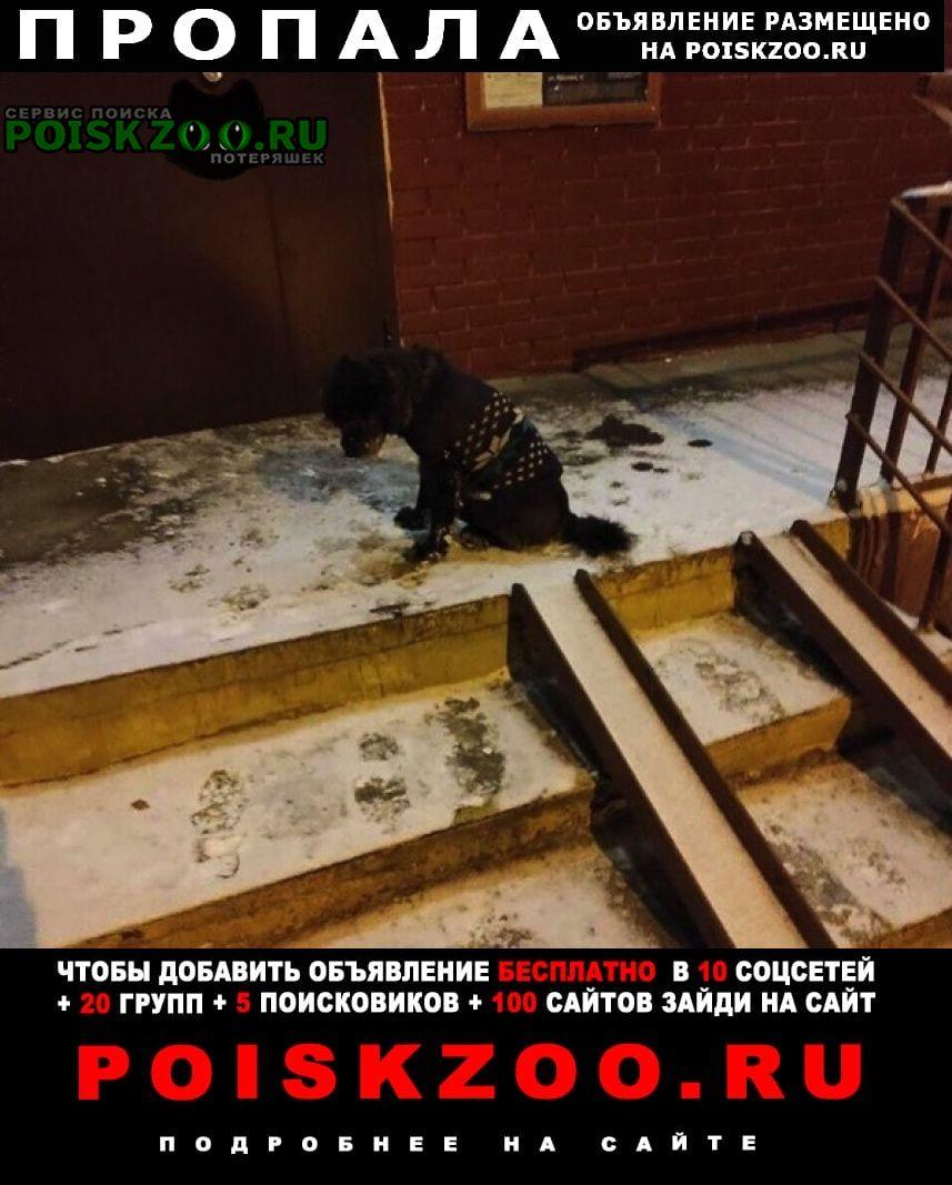 Москва Пропала собака пёс в свитере. тимоша