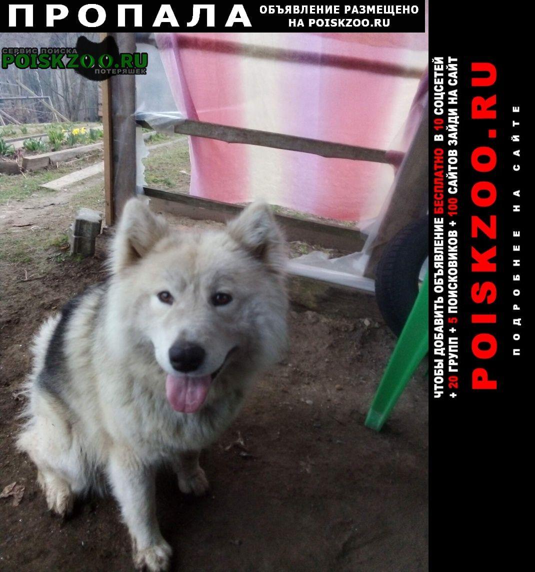 Пропала собака породы маламут Медынь