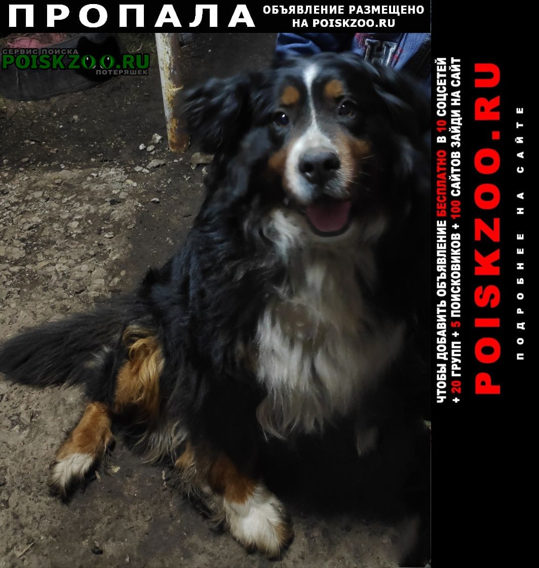 Богатое Пропала собака бернский зенненхунд