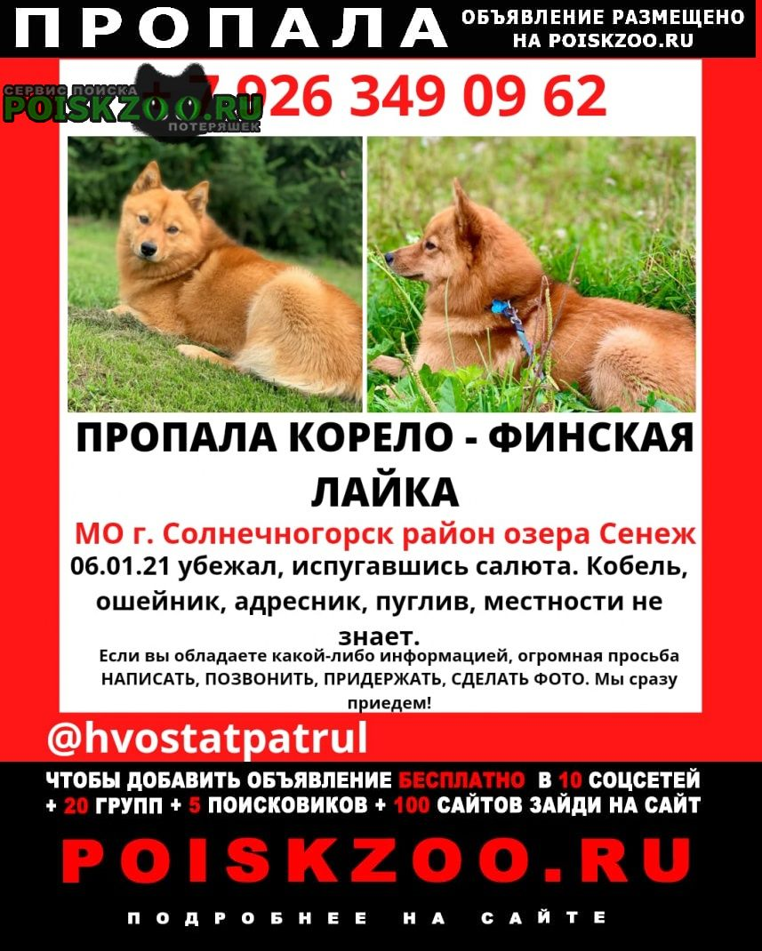 Пропала собака карело-финская лайка Солнечногорск
