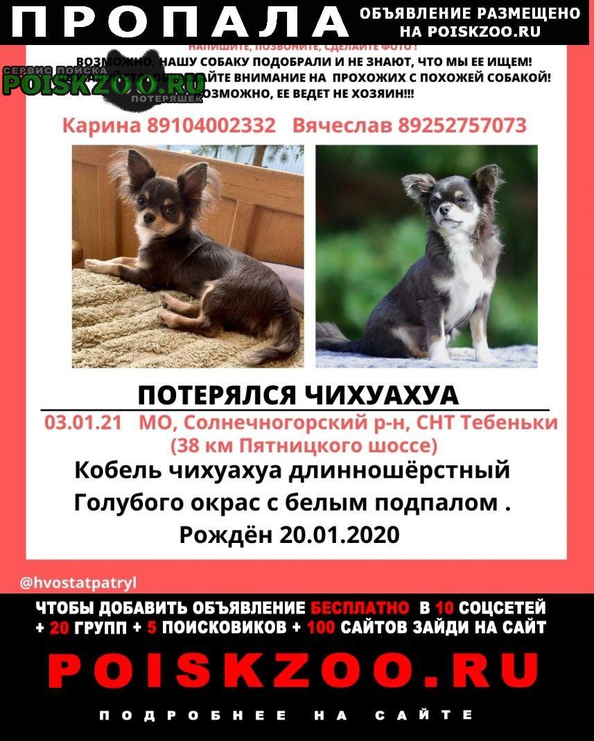 Пропала собака чихуахуа Зеленоград