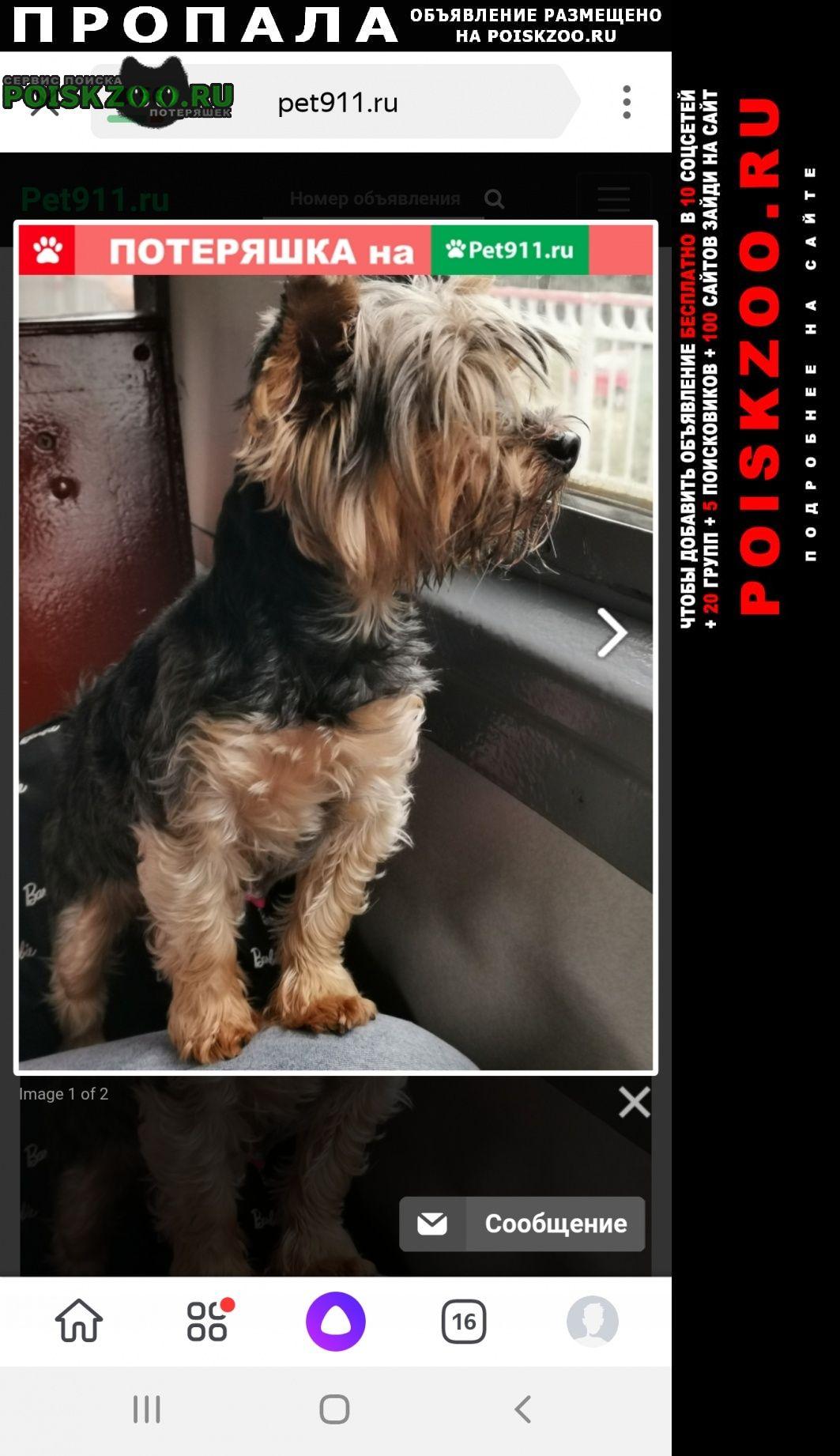 Пропала собака йорк г. Пушкино