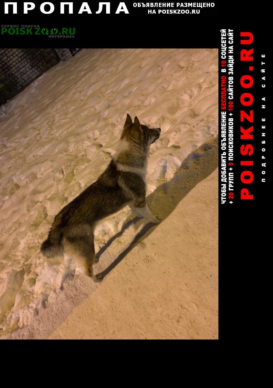 Брянск Пропала собака лайка 8 мес кобель