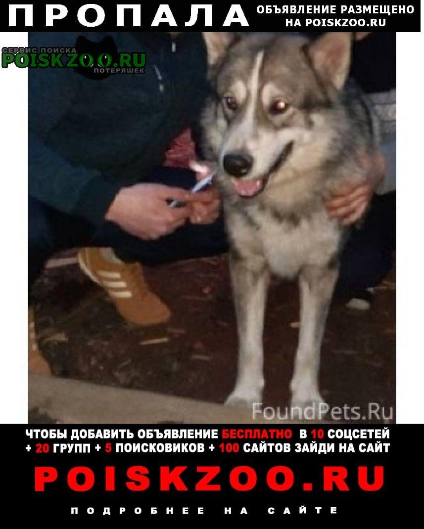Нижний Новгород Пропала собака пес. метис маламута