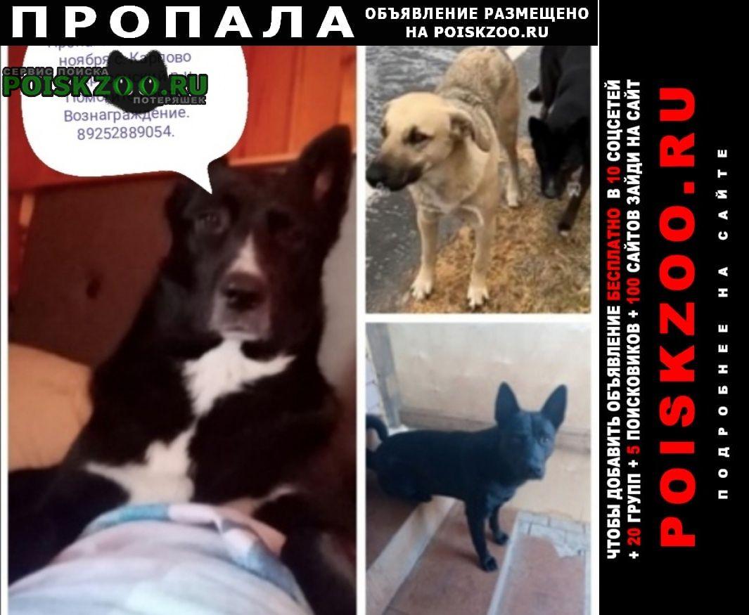 Пропала собака кобель три собаки Воскресенск