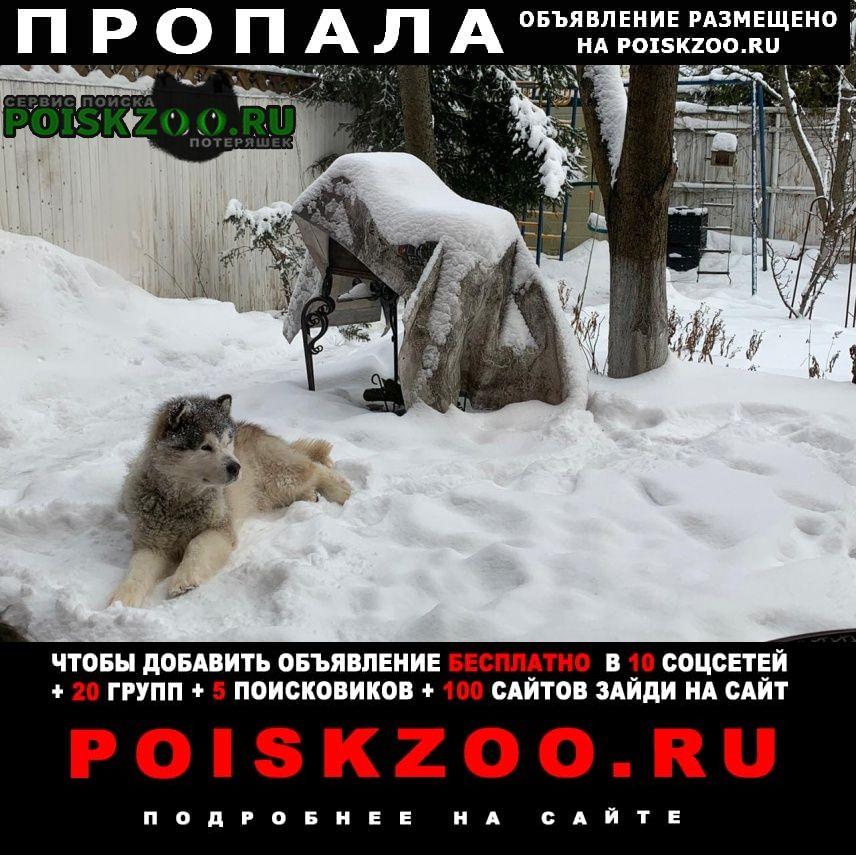 Троицк Пропала собака аляскинский маламут альбус