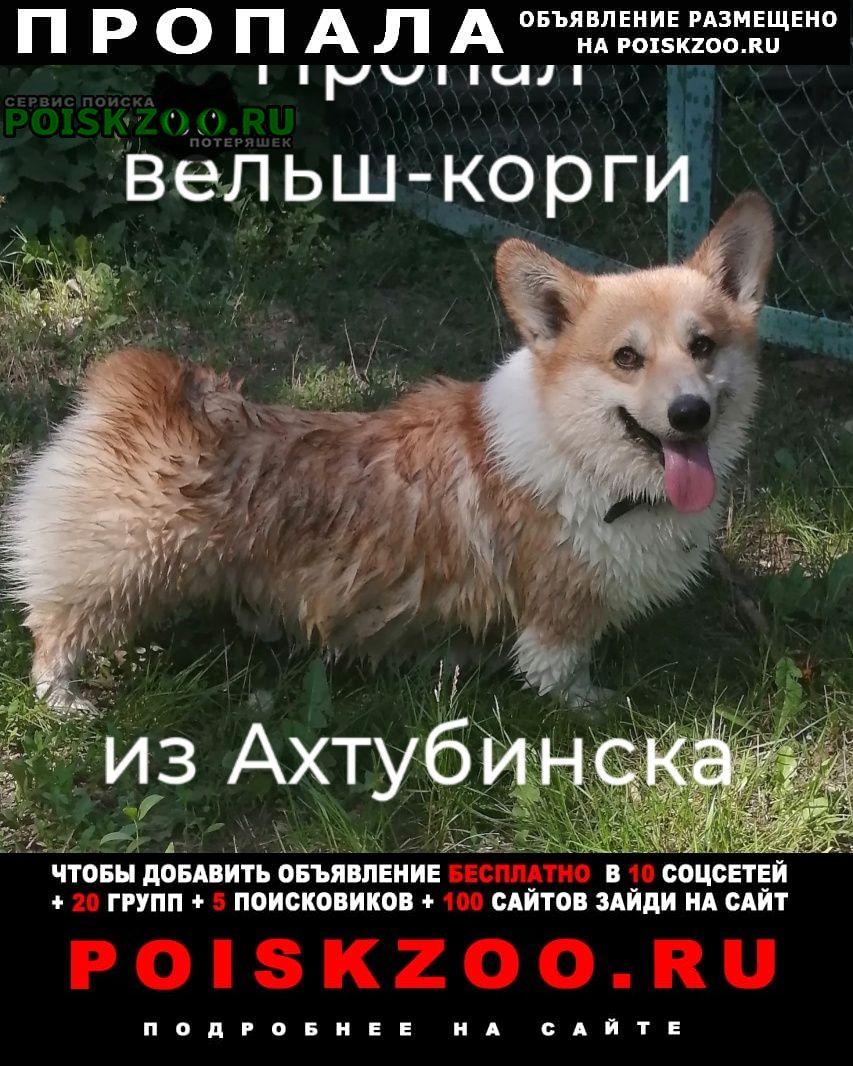 Пропала собака корги из Ахтубинск