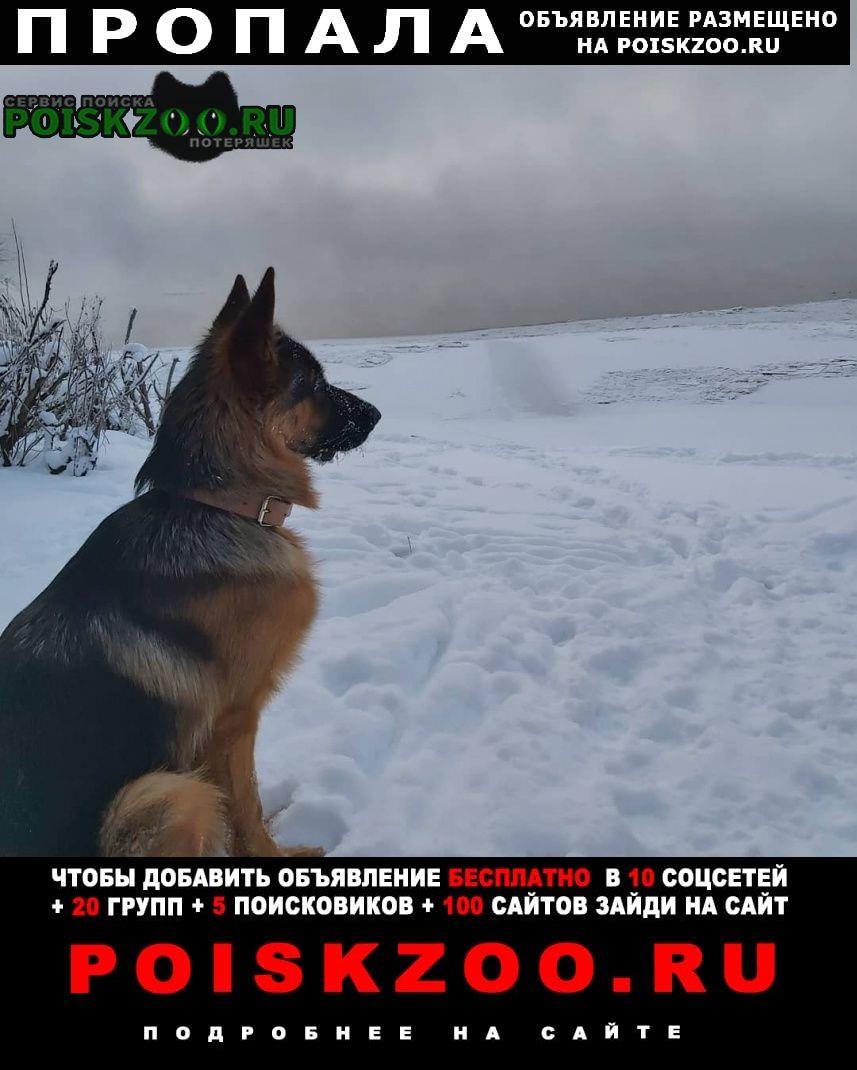 Пропала собака мальчик немецкой овчарки 1 год. Сургут