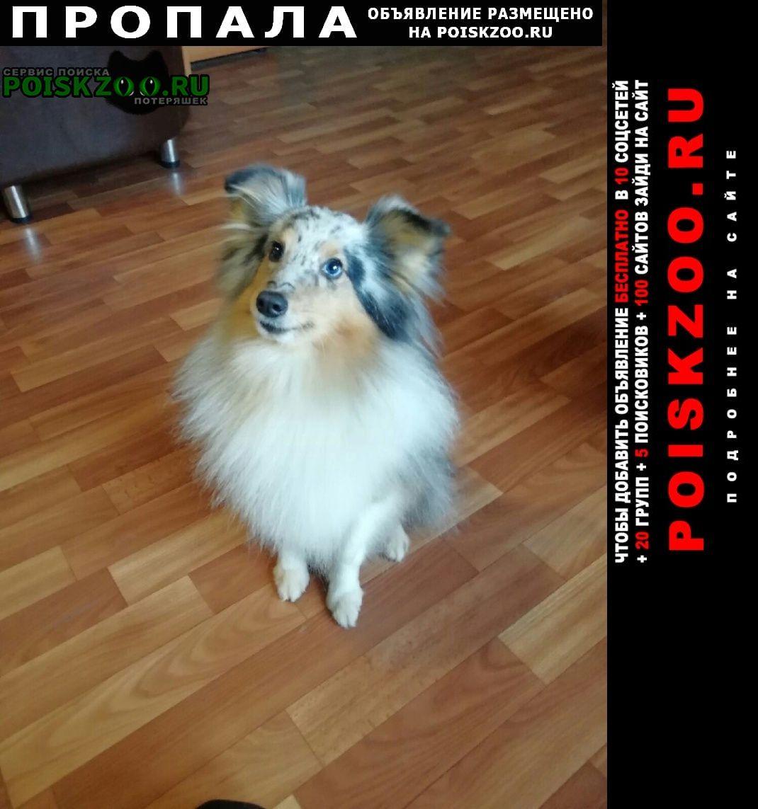 Пропала собака породы шелти Санкт-Петербург