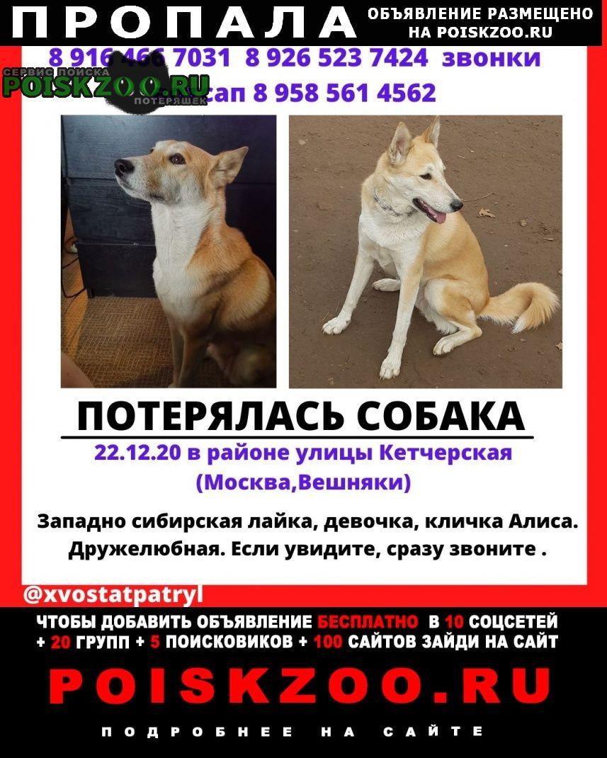Пропала собака лайка зсл, девочка Москва