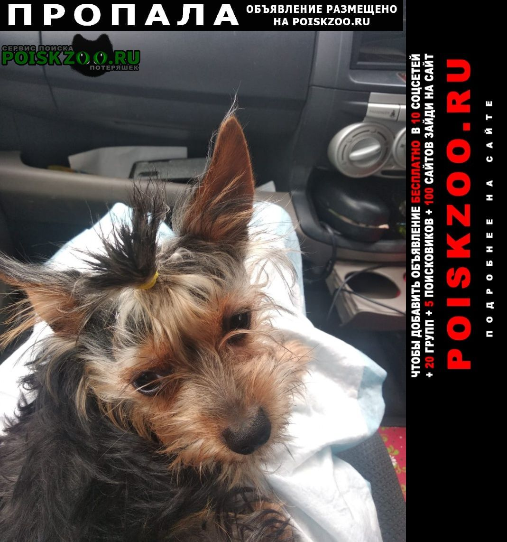 Пропала собака 31 января в 14:20 йоркширский терьер Краснодар
