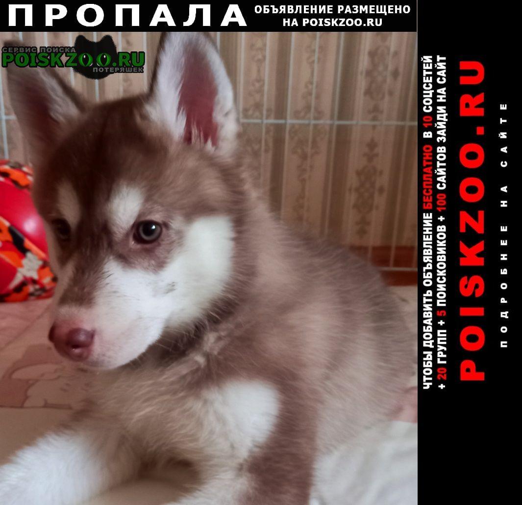 Пропала собака сибирская хаска Братск