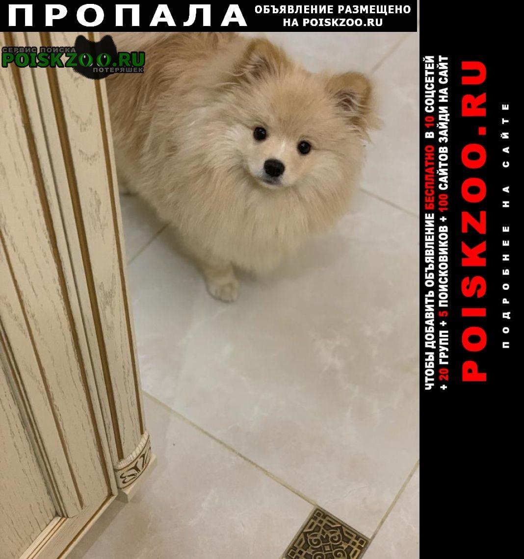 Пропала собака кобель шпиц Семилуки