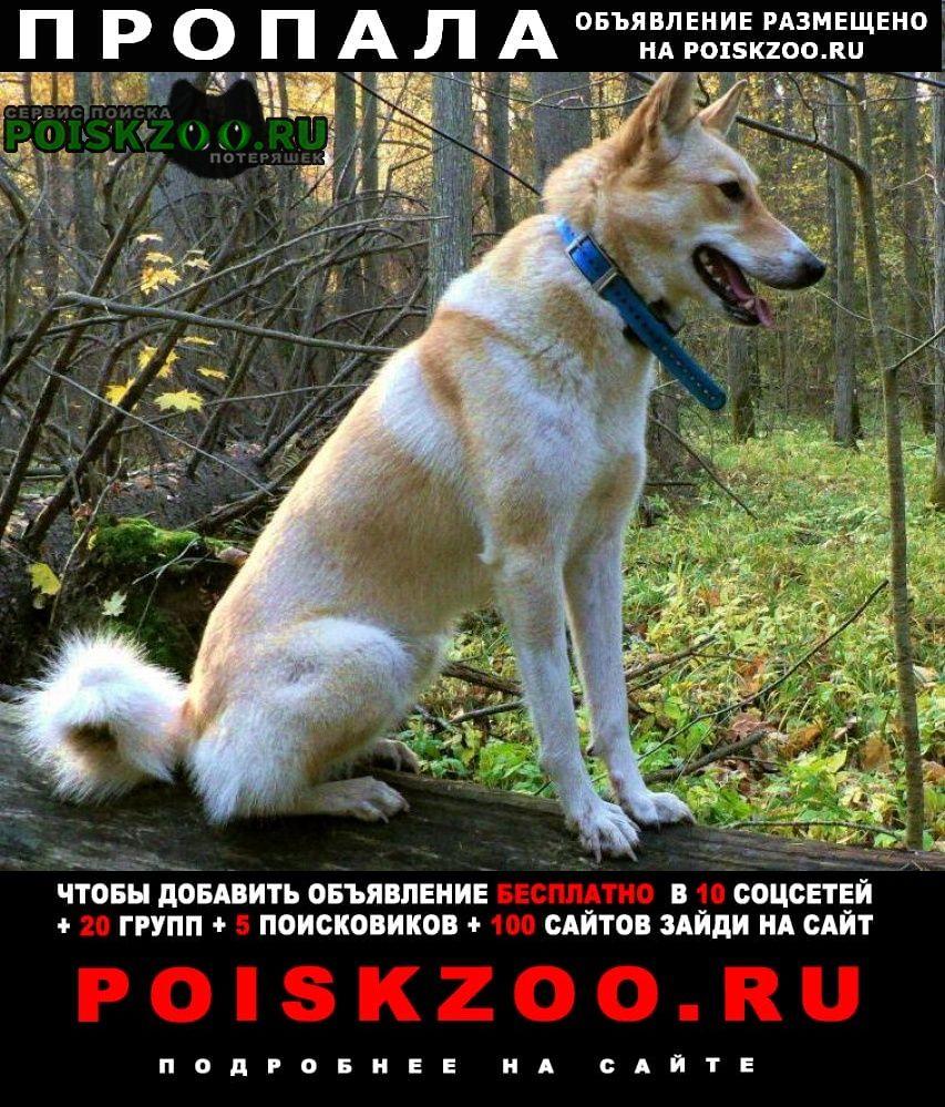 Истра Пропала собака убежала лайка западно - сибирская