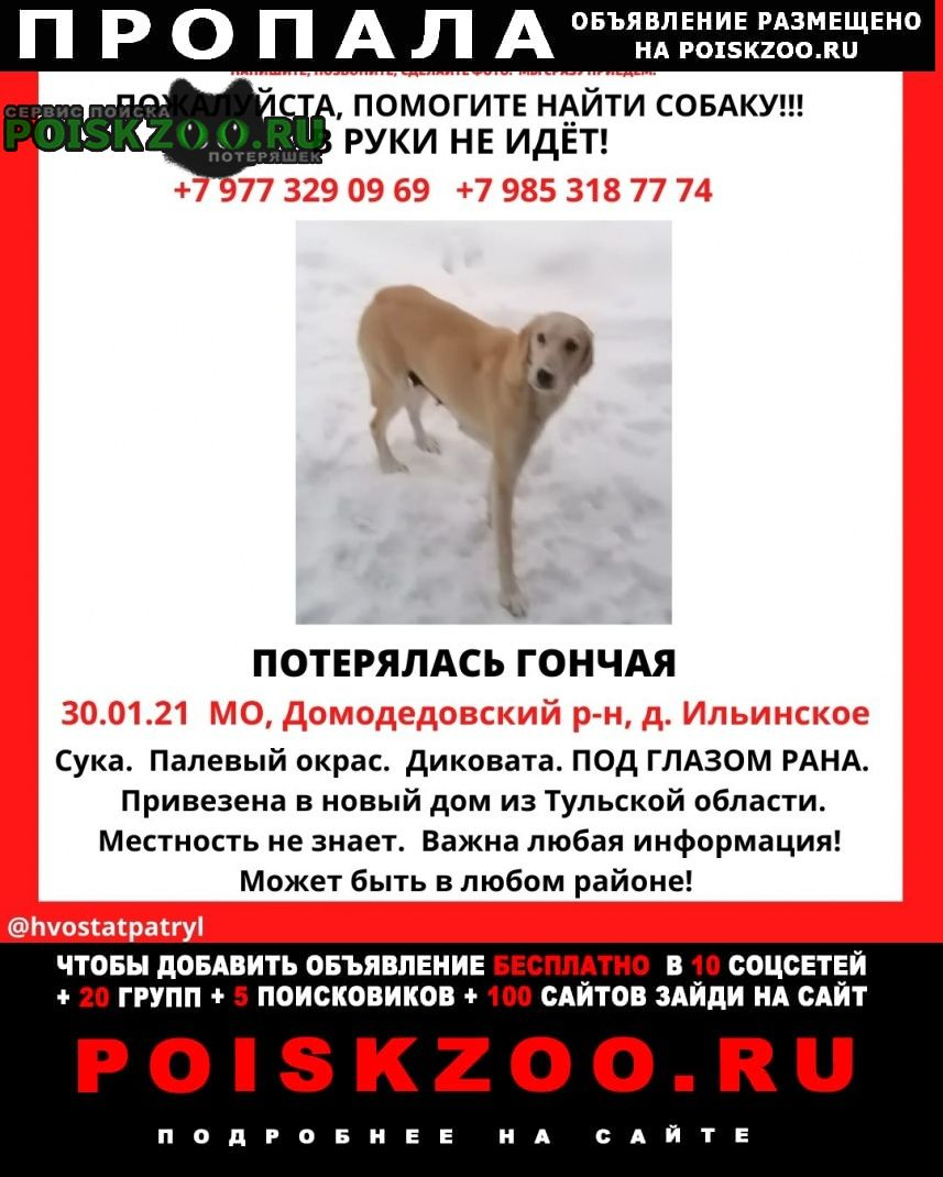 Домодедово Пропала собака порода русская гончая