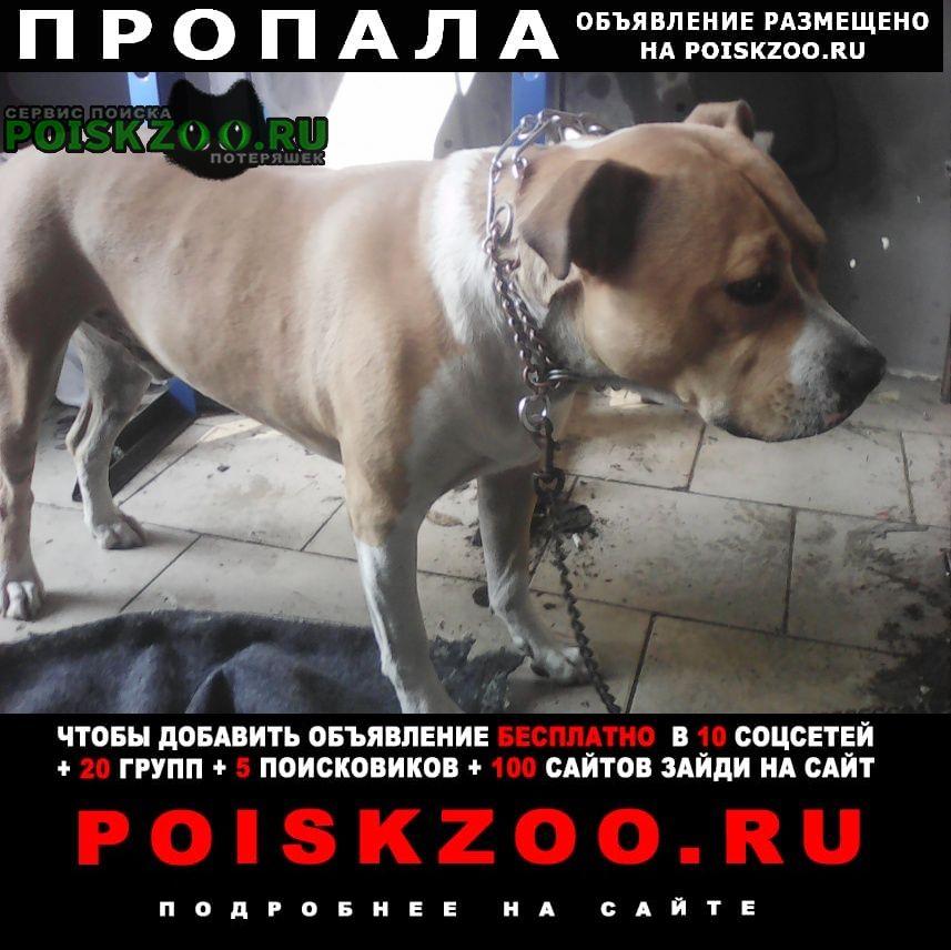 Пропала собака амстафф Краснодар