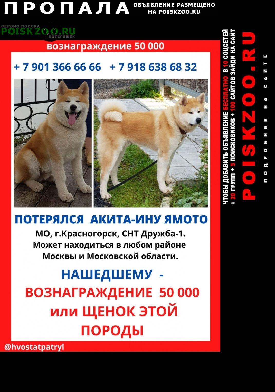 Пропала собака акита Красногорск