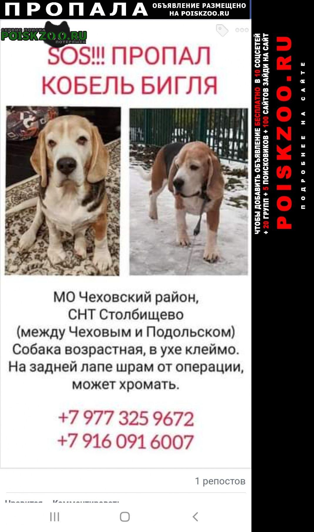Пропала собака возрастной кобель бигля Чехов
