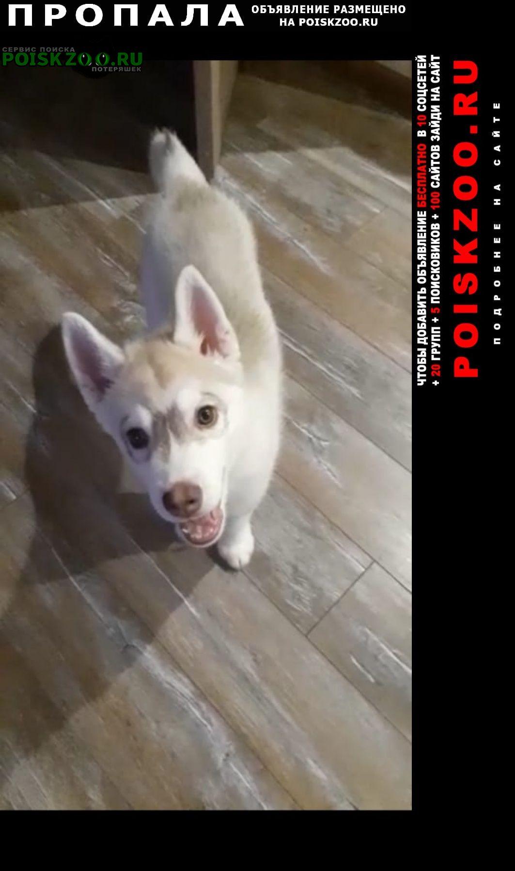 Пропала собака украден щенок хаски Пушкино