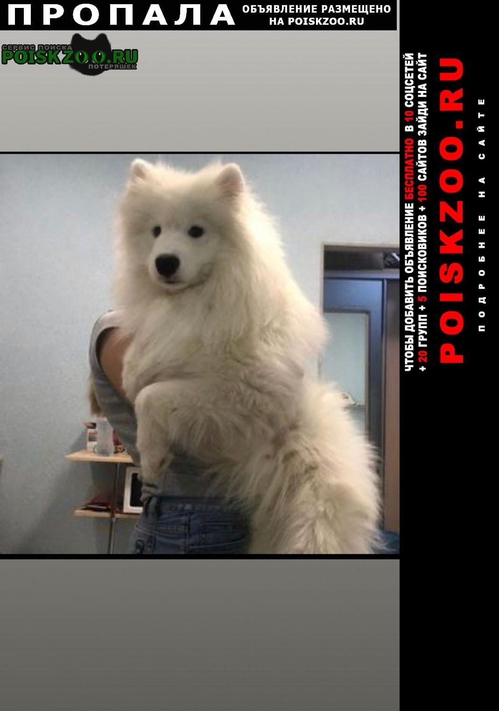 Пропала собака самоедская лайка Севастополь