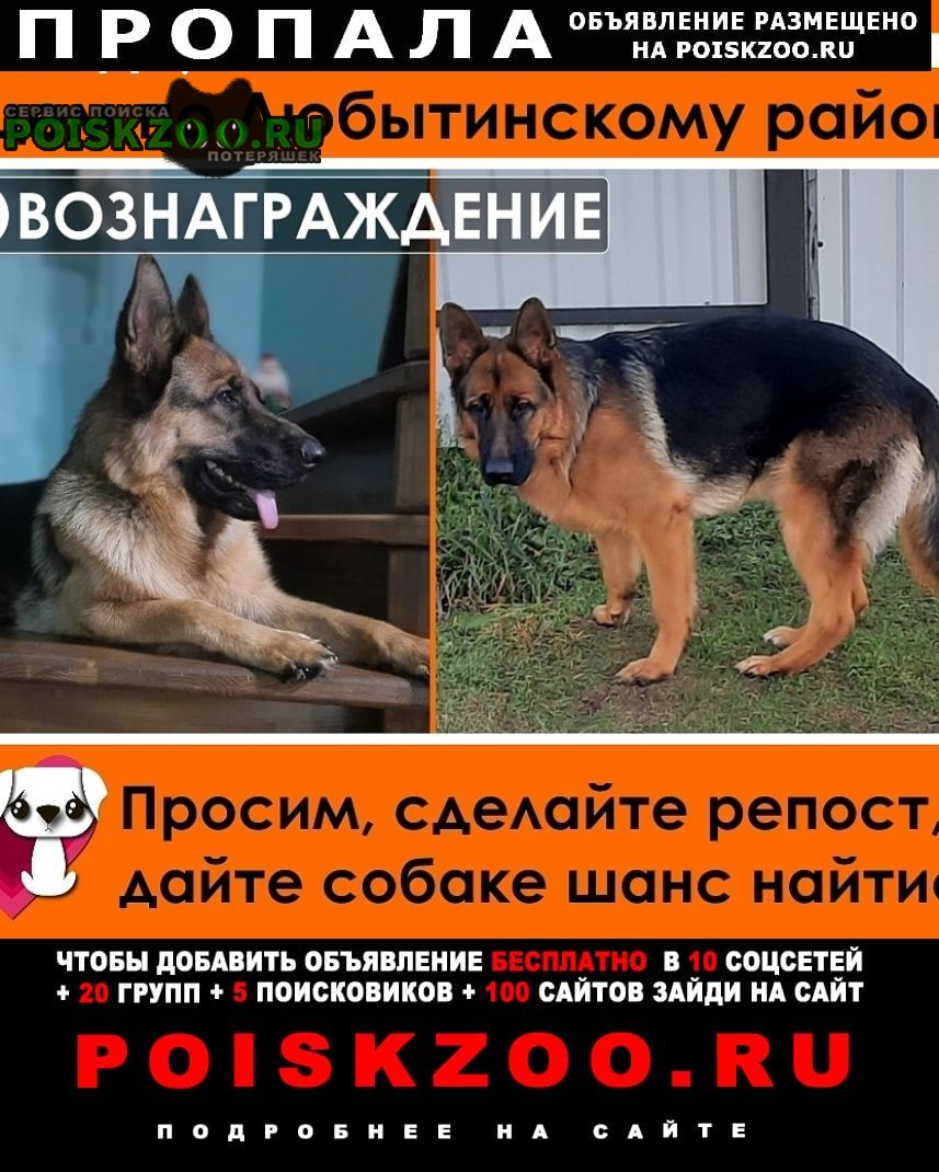Пропала собака немецкая овчарка 9 февраля 2021 Любытино
