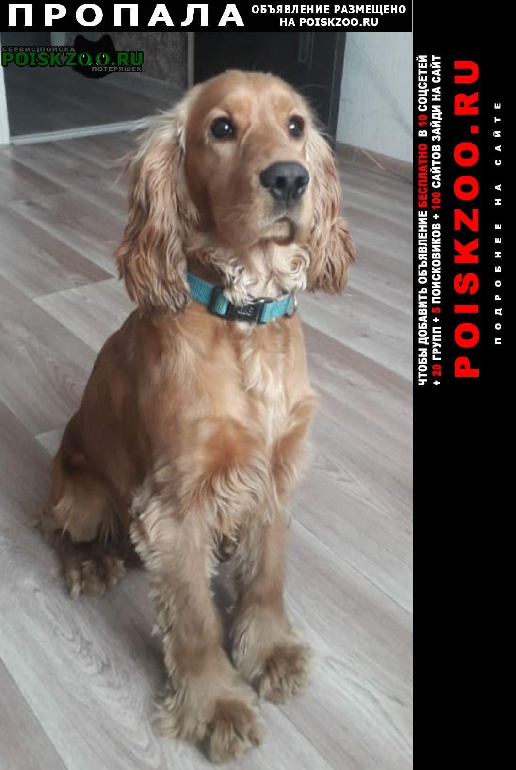 Пропала собака английский кокер- спаниел Хабаровск