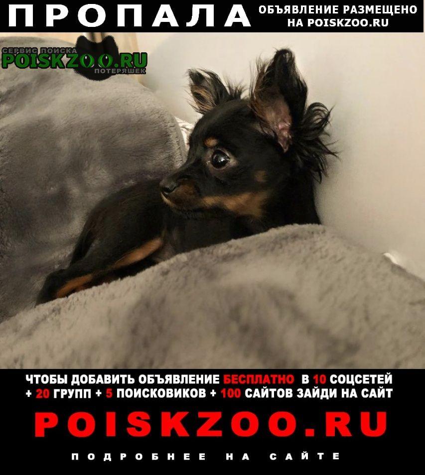 Пропала собака моня той терьер Волжский (Волгоградская обл.)