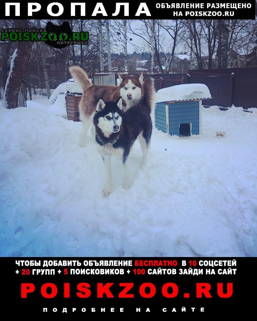 Пропала собака рассудово, селятино хаски - флёр Нарофоминск