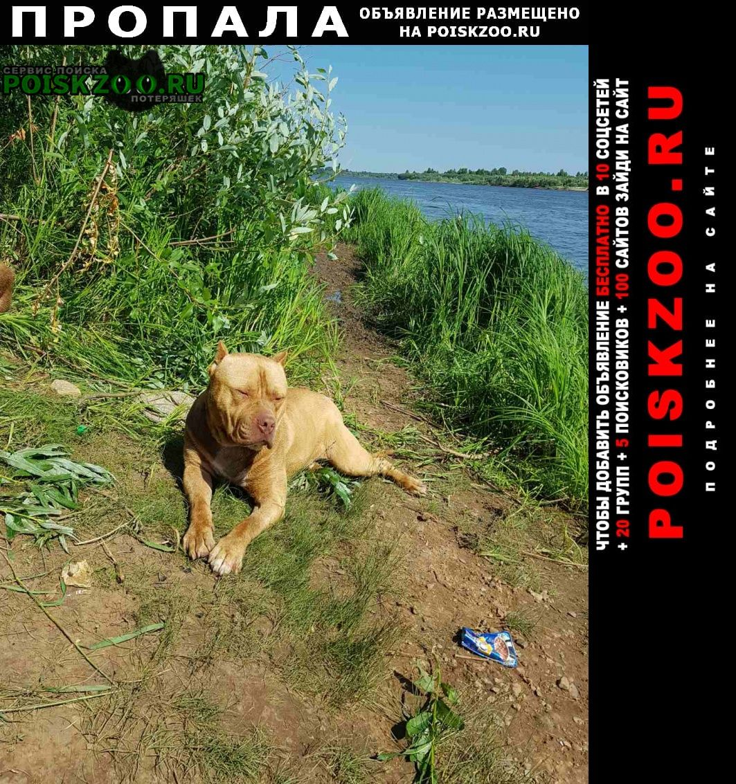 Пропала собака порода американский питбультерьер Киров (Кировская обл.)