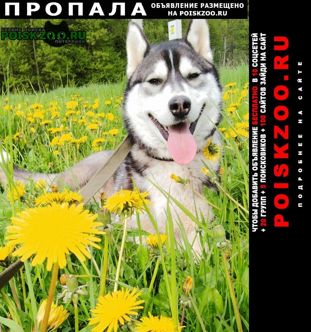Пропала собака кобель хаски Солнечногорск