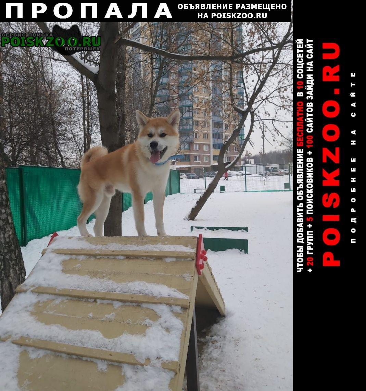 Пропала собака кобель акита-ину, 1 год Москва