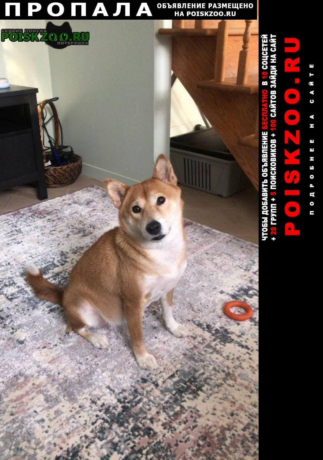 Пропала собака потерялась. порода шиба ину Москва
