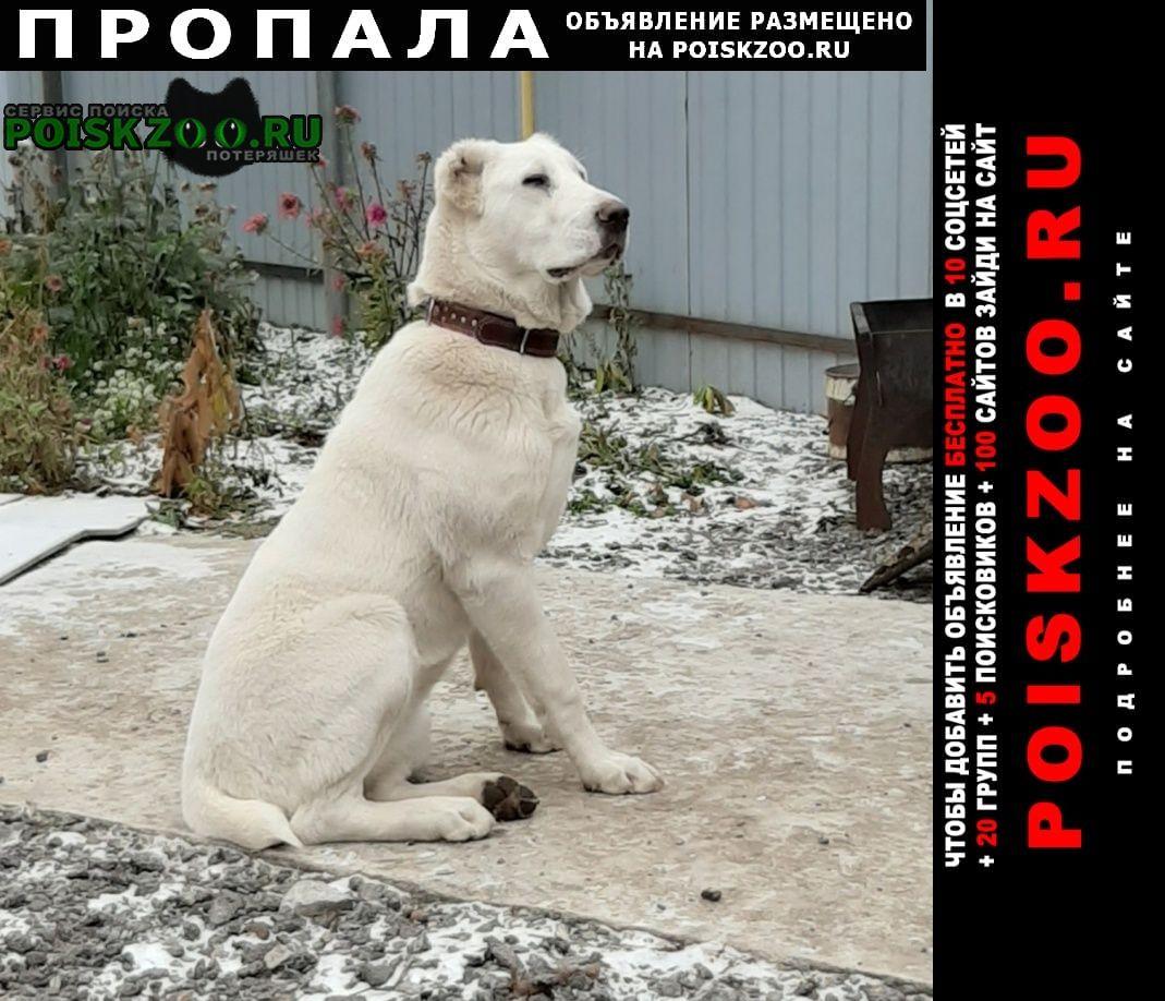 Пропала собака алабай белый 11 мес.девочка Тюмень