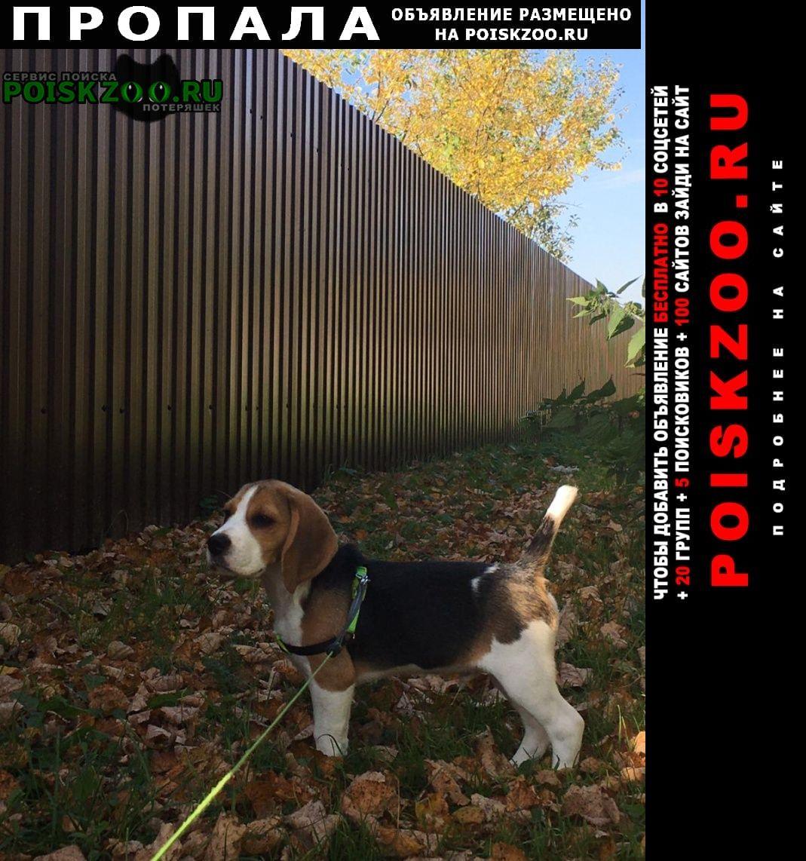 Пропала собака кобель бигль Дмитров