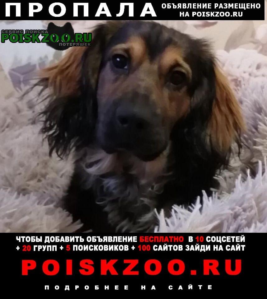 Пропала собака кобель коричневый метис таксы и спаниеля Домодедово