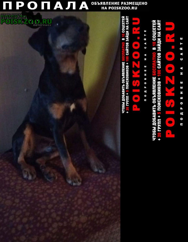 Пропала собака кобель ягтерьер мальчик Барнаул