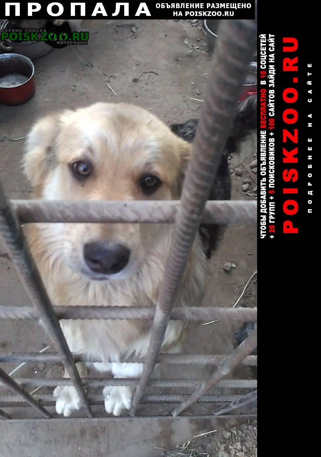 Пропала собака кобель пёс.салова прогонная грузинская у Санкт-Петербург