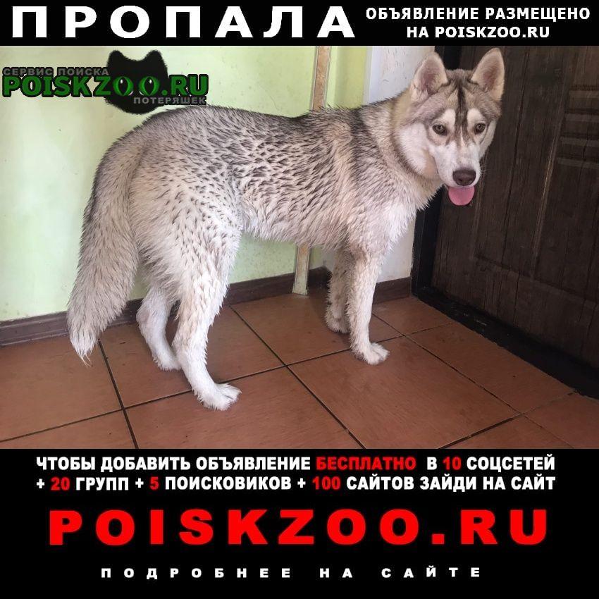 Пропала собака хаски Саратов