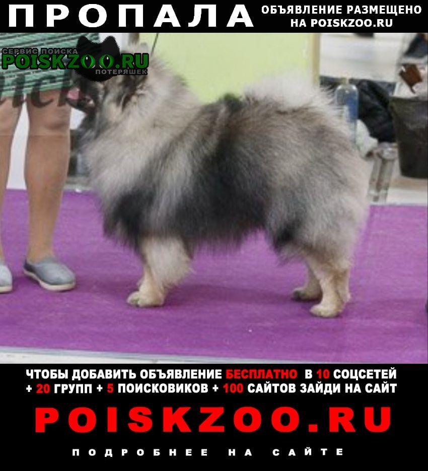 Пропала собака кобель кеесхонд-вольфшпиц Москва