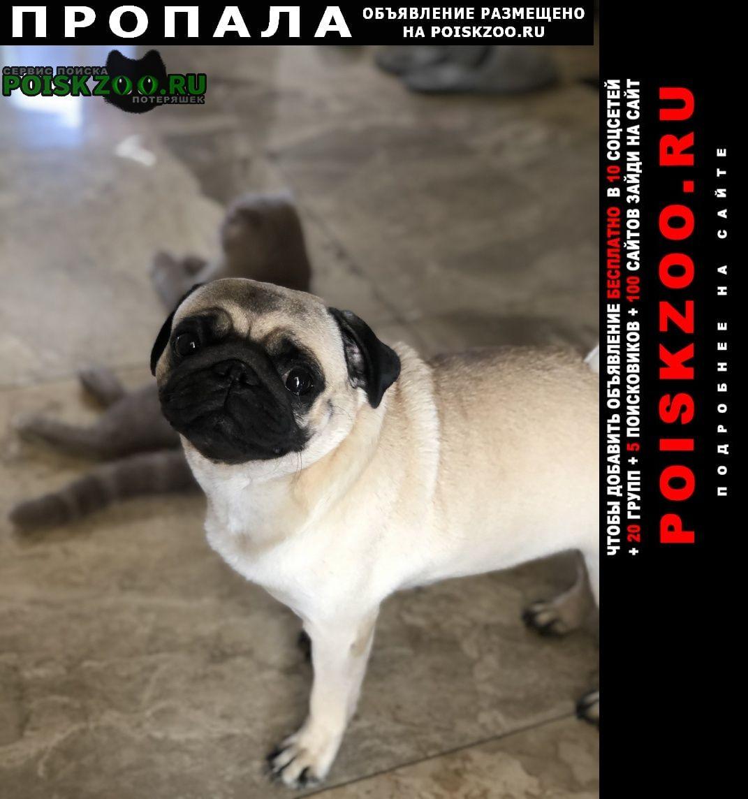 Пропала собака мопс девочка Краснодар