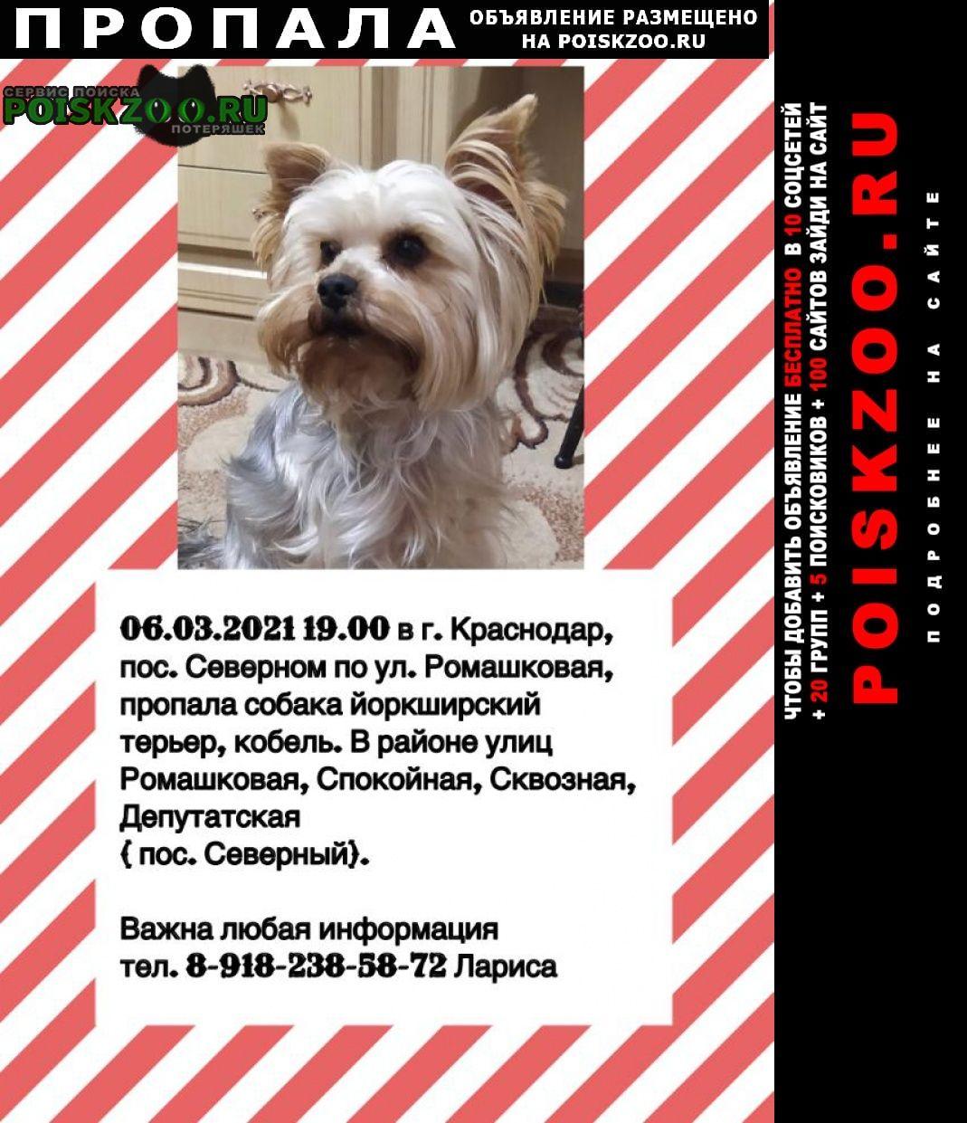 Пропала собака кобель йоркширский терьер, кабель. Краснодар