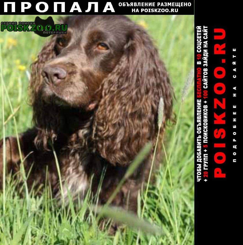 Пропала собака русский спаниель. сука. 16 лет Можайск