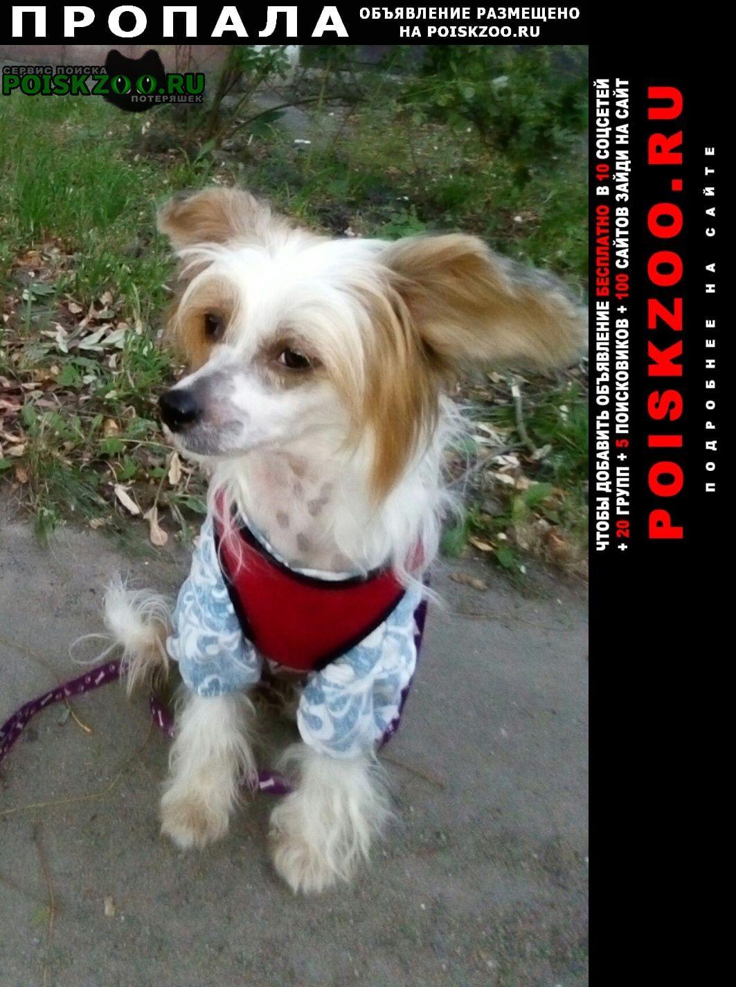 Иваново Пропала собака китайская хохлатая