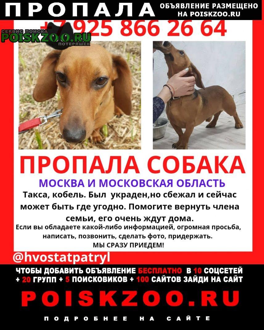 Пропала собака кобель такса Черноголовка