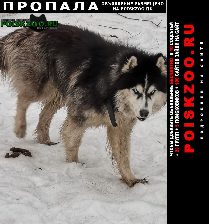Балашиха Пропала собака кобель красавчик хаски