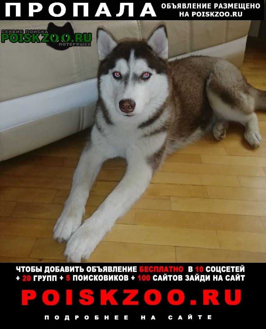 Пропала собака хаски, окрас коричневый Волгодонск