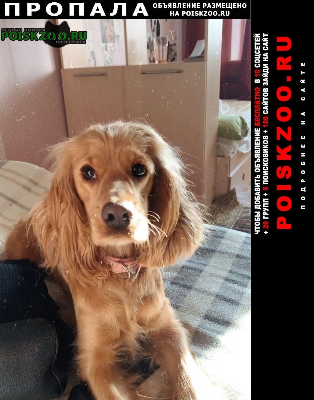 Стерлитамак Пропала собака кокер-спаниель рыжая