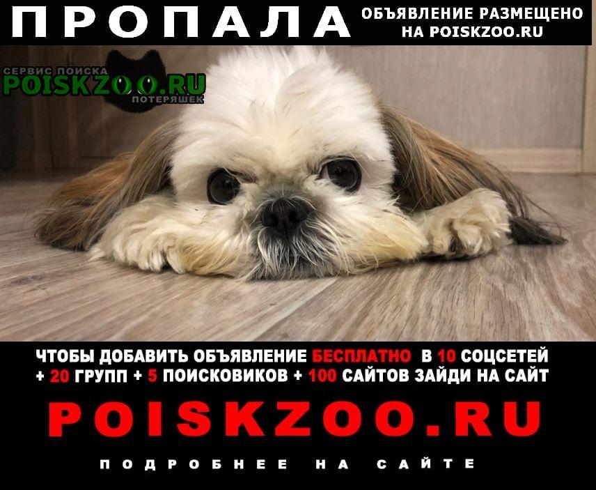 Пропала собака ши-тцу Самара