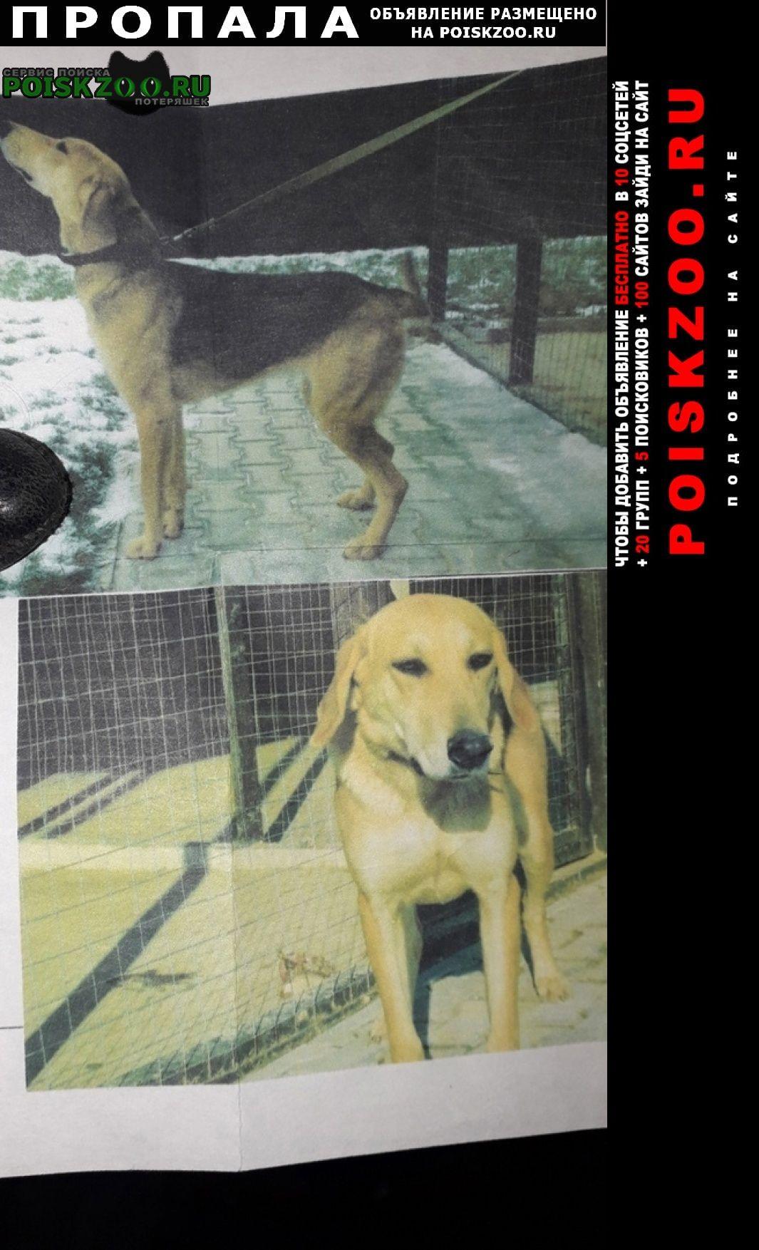 Пропала собака метисы русских гончих Серпухов